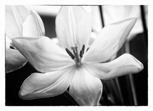Translucent Tulips IV