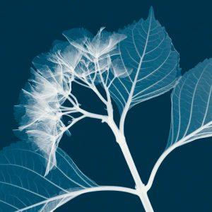 Hydrangeas [Negative] – B