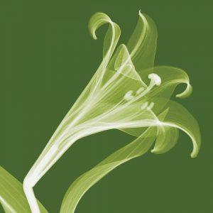 Lilies [Negative] – A