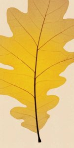 Leaves – A