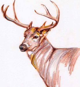 Deer in Pencil