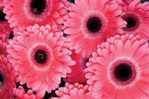 Pink Gerbera Daisies III