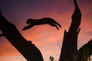 Botswana, Savuti Game Reserve Leopard leaping