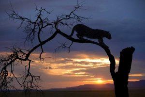 Botswana, Savuti Game Reserve Leopard on branch