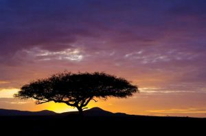 Kenya, Masai Mara Sunrise silhouettes acacias