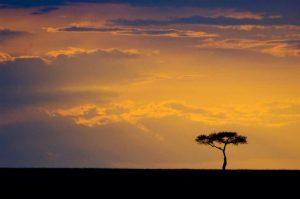 Kenya, Masai Mara Sunrise silhouettes an acacia
