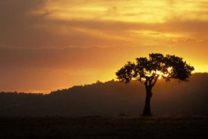 Kenya, Masai Mara Acacia silhouetted at sunset