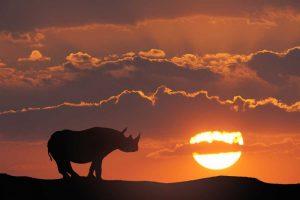 Kenya, Masai Mara White rhinos at sunset