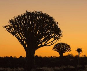 Africa, Namibia Quiver trees at twilight