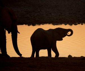 Namibia, Etosha NP Baby elephant at sunset
